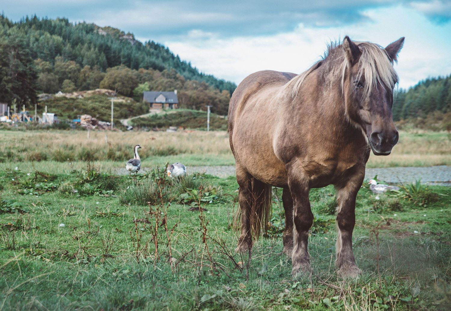 Horse with scottish scenery in the background
